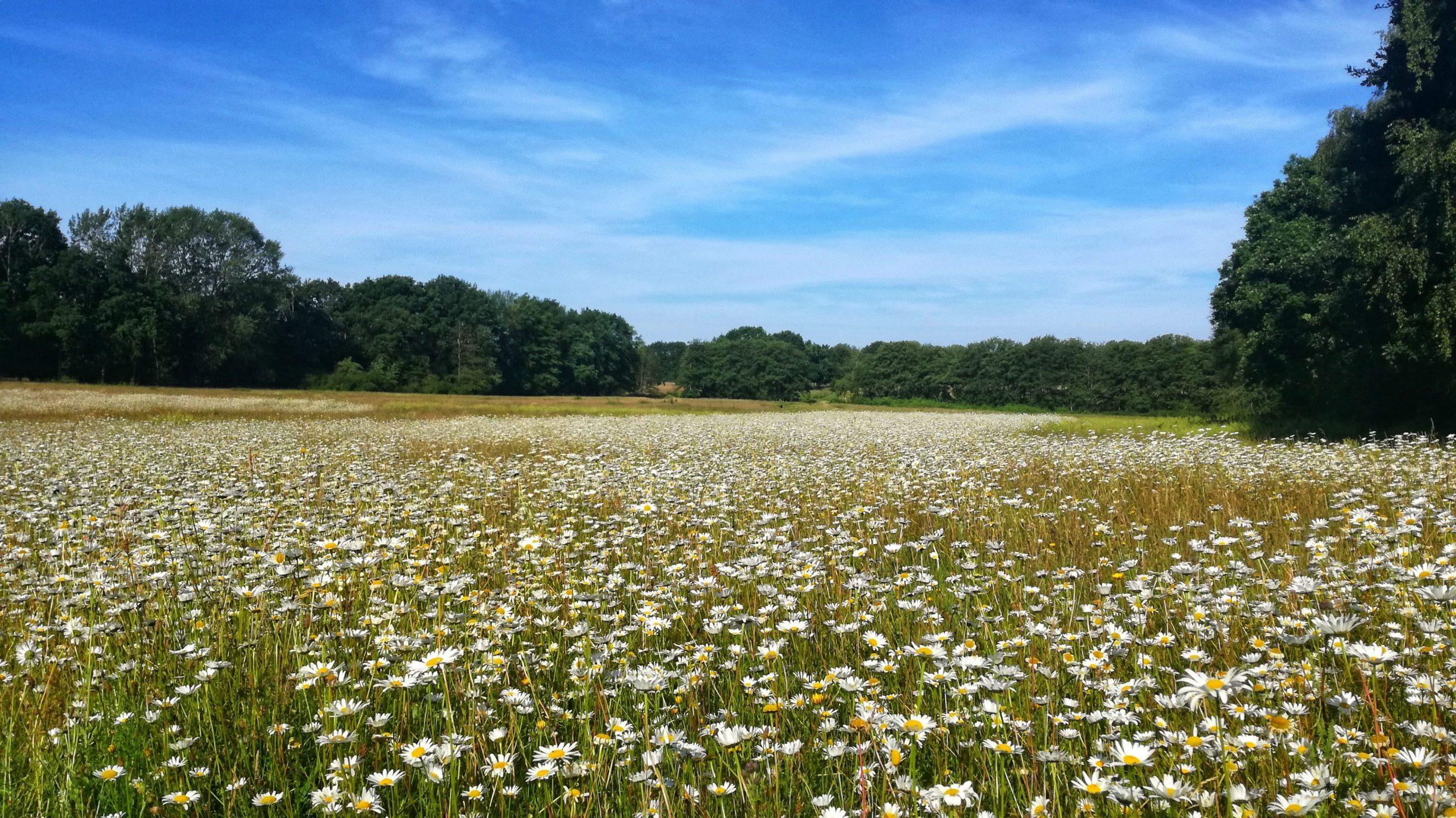 Margeritenwiesen in der Lohe   Wentorf im Blick